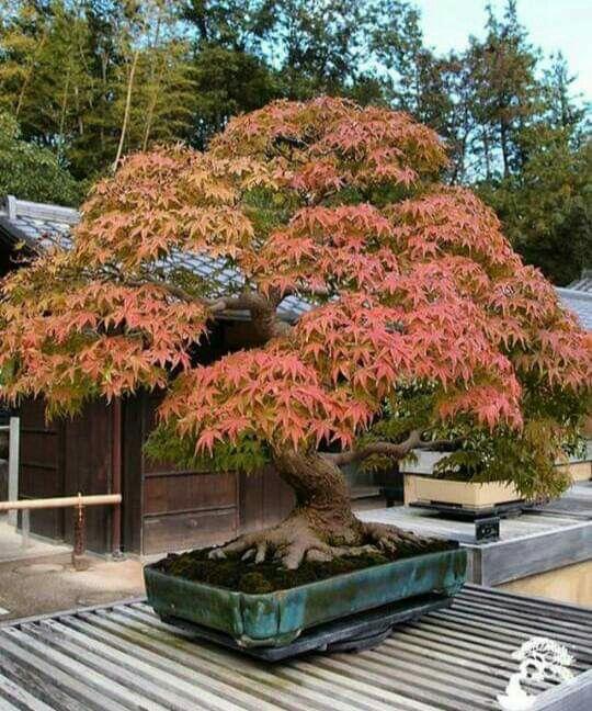 Japanese Maple Bonsai Garden Japanese Garden Maple Bonsai