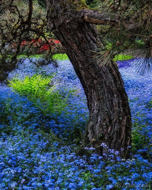 Forget- me- nots are the blue flowers under a pine tree. Not in my yard but I love them.:
