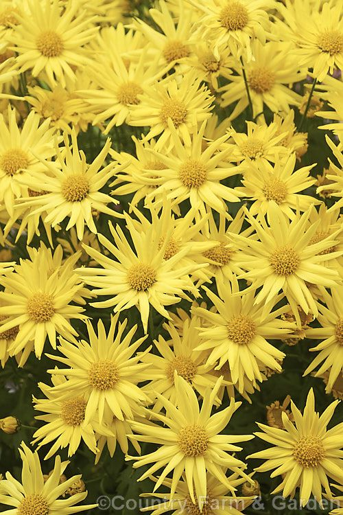 One Of The Many Cultivars Of Spray Chrysanthemum Chrysanthemum X Morifolium Cultivars These Small Flowered For Chrysanthemum Morifolium Chrysanthemum Plants