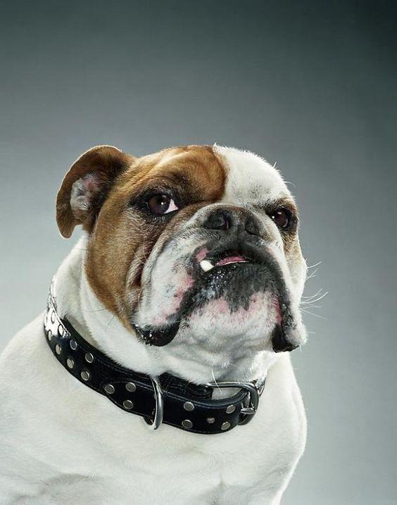 "Jill Greenberg  ""Dog portraits"""