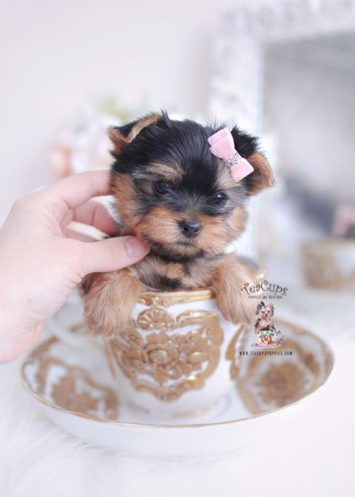 Yorkie Puppy For Sale Teacup Puppies 401 In 2020 Yorkie Puppy Teacup Yorkie For Sale Yorkie Puppy For Sale