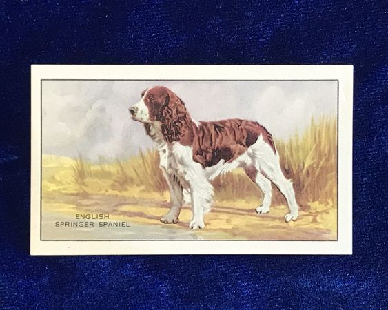 1936 English Springer Spaniel Gallaher Cigarettes Card For Sale At Yellow Dog Antiques On E Scottish Terrier Puppy English Springer Spaniel Kerry Blue Terrier