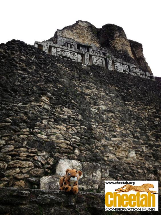 Xunantunich Archaeological Reserve  Follow along as the Purring Cheetahs travel the world and add photos of your own Cheetah adventures to join the fun!    www.facebook.com/chewbaakascheetahfriends  #chewbaakascheetahfriends  Cheetah Conservation Fund  www.cheetah.org