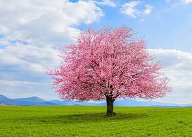 Let It Go And See If You Re Anna Or Elsa From Frozen Japanese Cherry Sakura Tree Landscape