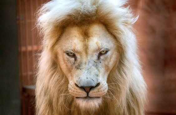 Le papa des cinq lion blanc est âgé de 5 ans. Il fait parti de ces lions blancs…