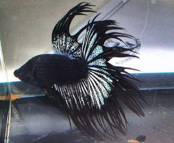 Betta rare fighter fish white dragon king crown betta for Rare betta fish