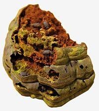 Besouros. Bolitophagus reticulatus Besouro saproxylic.