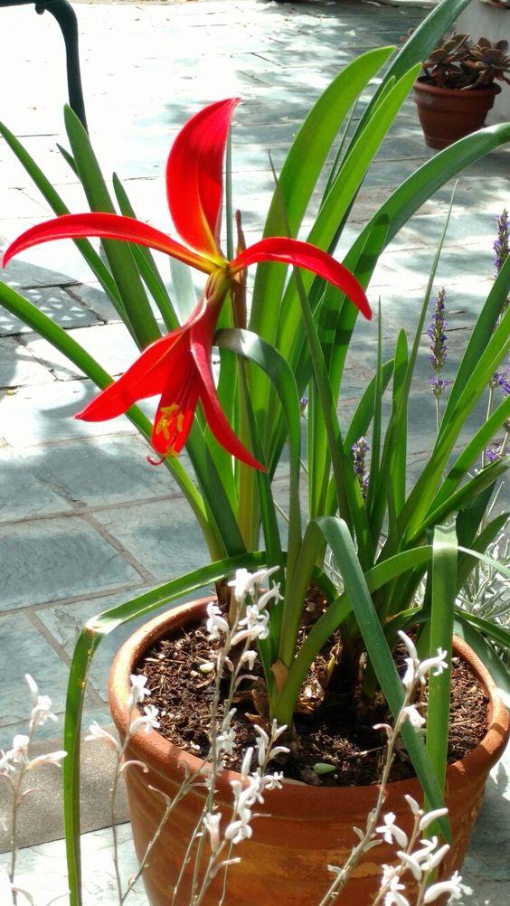 Flor de lis