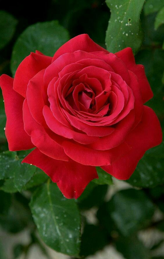 Yes, dear ... I go with my friends ... I promise you a sunrise, if I wake  up .... | Beautiful rose flowers, Beautiful red roses, Rose flower