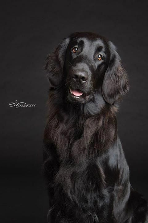 Dog Training Dog Hacks Teach Your Dog Dog Learning Dog Tips Dogpictures Dog Breeds Flat Coated Retriever Labrador Dog