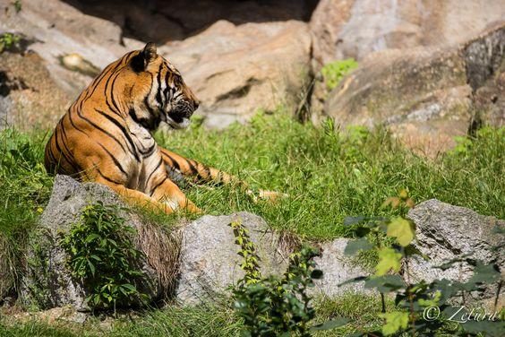 Majestic Tiger - Berlin's Zoo
