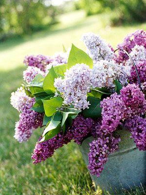 Mis floes favoritas, Lilas, que florezcan ya!!!