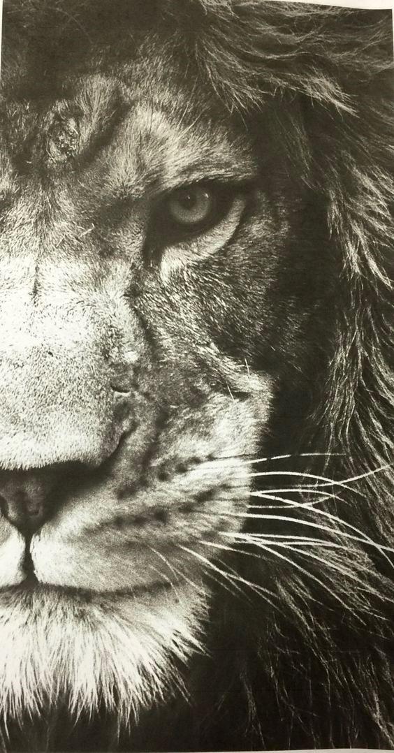 Wallpaper 4k Iphone Lion Ideas Lion Eyes Lion Wallpaper Black And White Lion