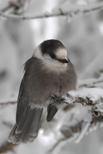 The gray jay, also grey jay, Canada jay or whiskey jack, is a member of the crow and jay family found in the boreal forests across North America.: