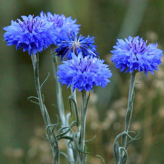 Blue Cornflower Or Bachelor Button Seeds In 2020 Bachelor Button Flowers Bachelor Buttons Cornflower