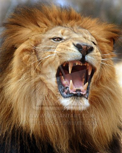Male lion face roaring - photo#1