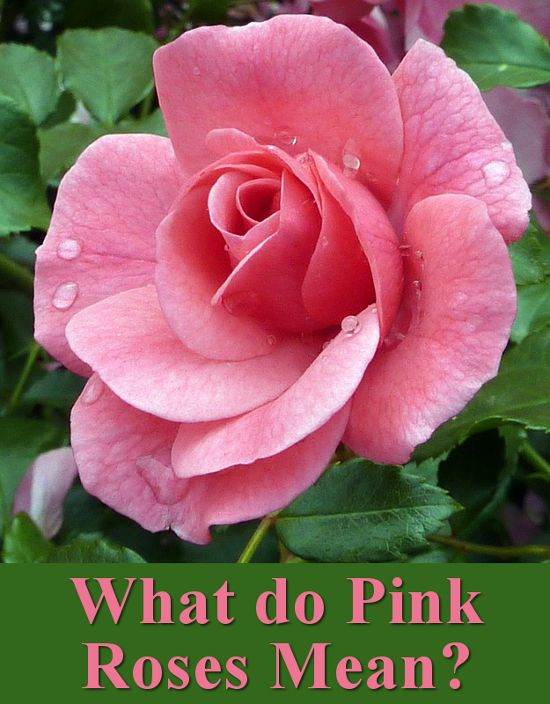 The Symbolism And Meaning Of Pink Roses Blooming Rose Pink Roses Rose Reference