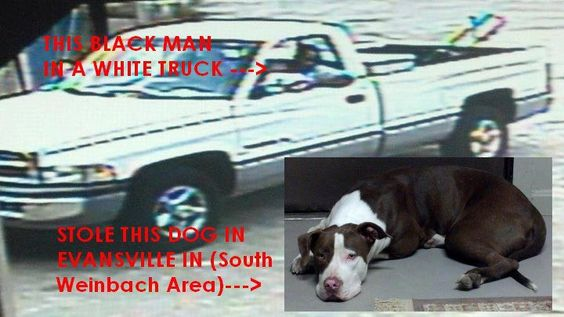 """*MAN KIDNAPS FAMILY PIT BULL***  EVANSVILLE,INDIANA !!! STOLEN!   Caught on camera being stolen today at 2:37pm on Evansville's Southeast side behind the levee. Man in white Dodge truck. Police have been notified and working with surveillance footage. Some of you may remember her being """"found/dumped"""" at the end of South Weinbach with some pretty nasty injuries to her paws.   https://www.facebook.com/photo.php?fbid=458321524208517=a.454196014621068.111832.454191021288234=1"""