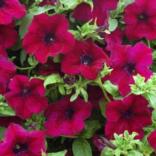 5 Trailing Petunia Surfinia Burgundy Basket Plug Plants S Https Www Amazon Co Uk Dp B00bgge0ui Ref Cm Sw R Pi Dp U X Bpy Trailing Petunias Plants Petunias