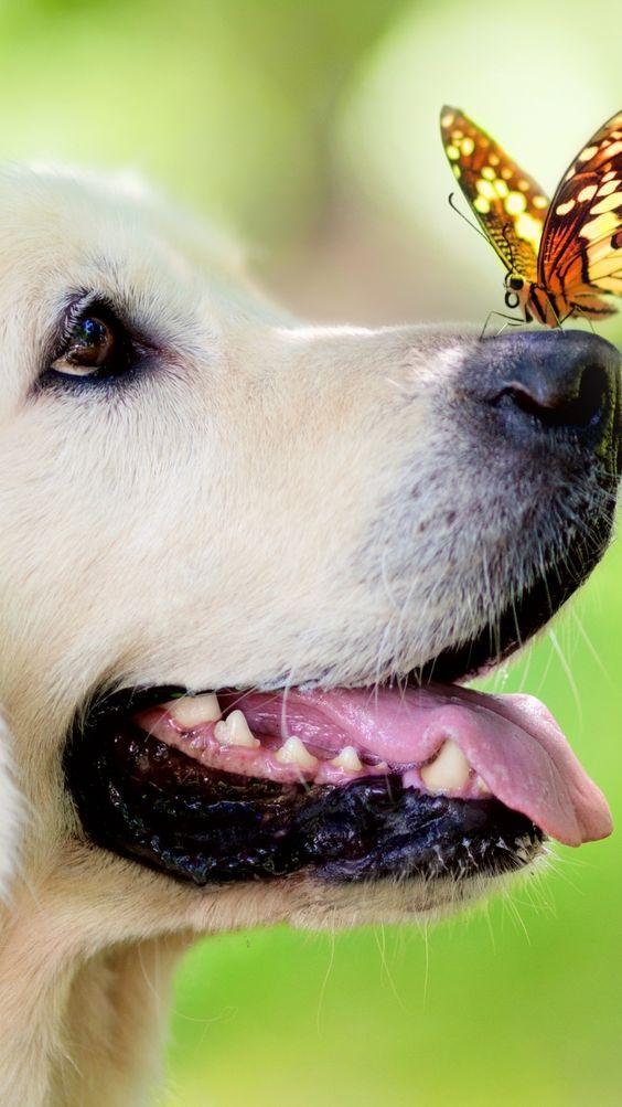 Tiger Cute Dog Dogs Golden Retriever Animal Wallpaper
