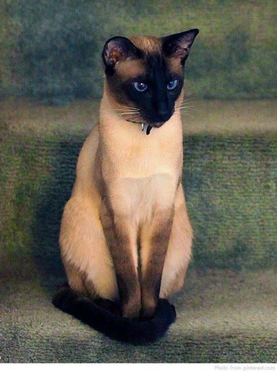 Chocolate Point Siamese Cat 101 In 2020 Siamese Cats Pretty Cats Cats