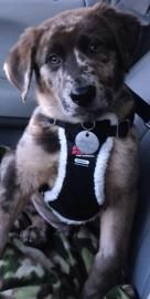 Samoa is an adoptable Labrador Retriever, Australian Shepherd Dog in Dallas, TX For adoption information or to complete an application, please go to: http://www.pawsinthecity. ... ...Read more about me on @Petfinder.com.com