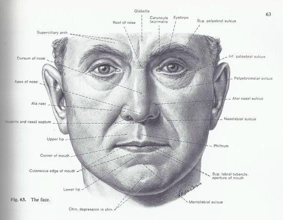 Facial skin anatomy-8511