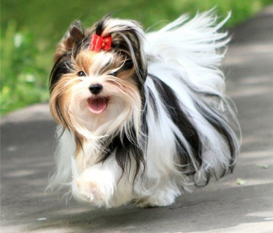 Biewer Oder Manche Nennen Sie Parti Yorkies Richtiger Rassenname Ist Biewer Mit Bildern Yorkshire Terrier Hund Yorkie Welpen