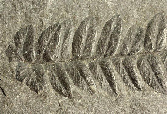 新着化石 シダ植物化石 化石セブンの最新情報 化石 シダ植物 画