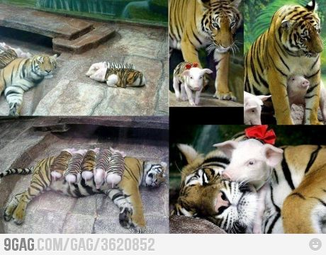 Just a tiger and her babies... wait what???