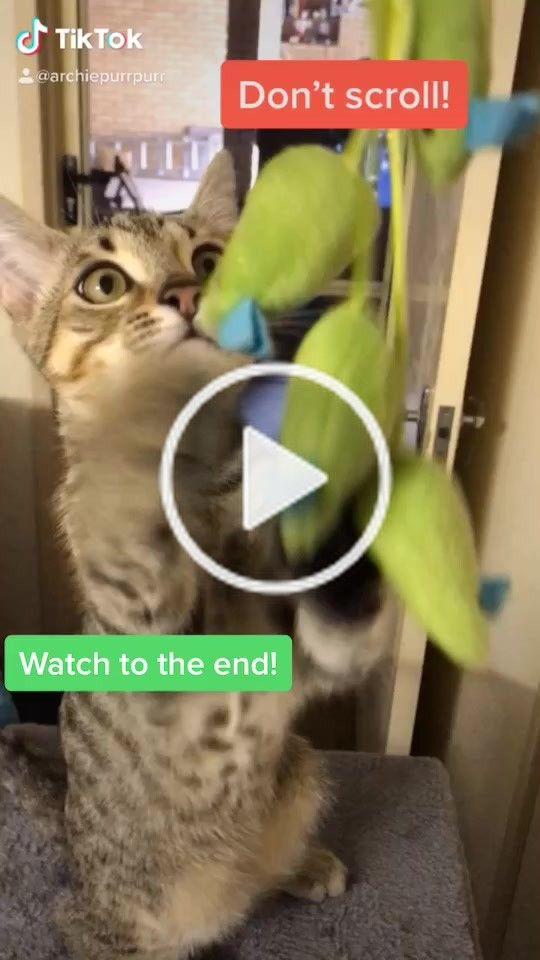 Archie Archiepurrpurr On Tiktok I Love Playtime Cutechallenge Gato Gatochallenge Catchallenge Cat Petlover Fyp Foryou For Animal Lover Archie Pets