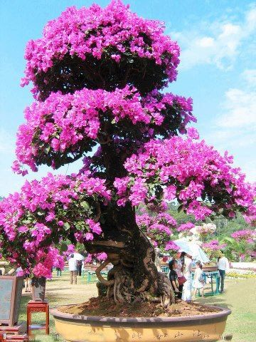 Bougainvillea Bonsai trees in Majorca, Spain: