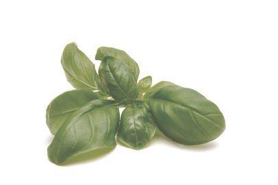 BASILIC l  Excellent condiment alimentaire très utilisé dans le Midi. C'est aussi un antispasmodique gastrique, un antiseptique intestinal, un tonique de l'estomac, un calmant très efficace.