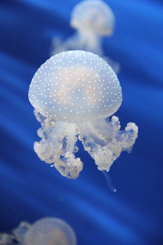 The Aquarium of Genoa, jellyfish