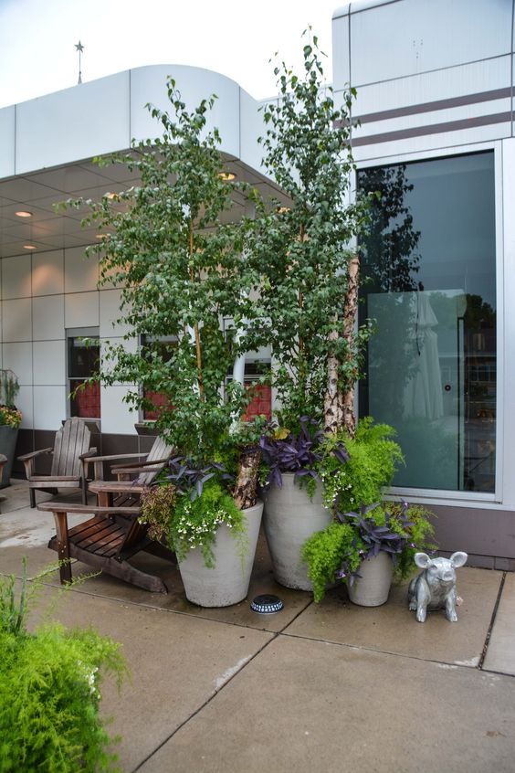 Birch trees in Containers at Wise Acres, in Minneapolis, MN - More images at Thinkingoutsidetheboxwood.com