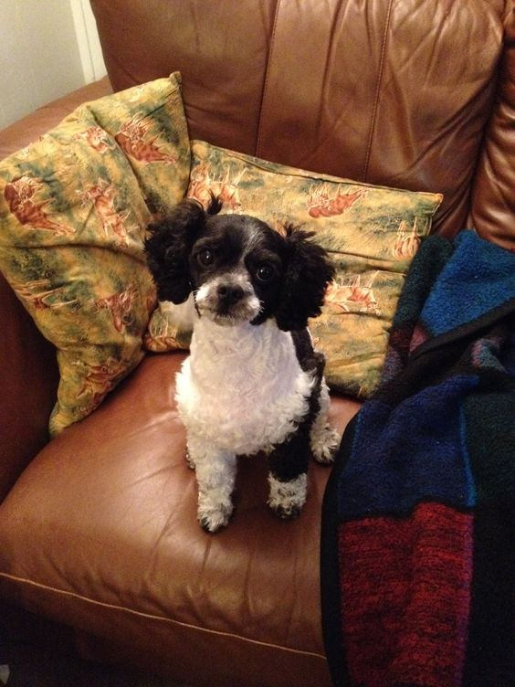 This is Sissy our black and white Cavapoo!
