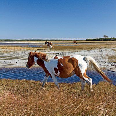 Cincoteague Island, Virgina. Wild Horses