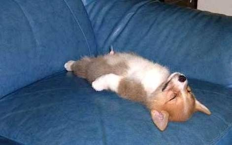 smiling like its a good dream.  Corgi's just have a way about them when they lay down and sleep. :)