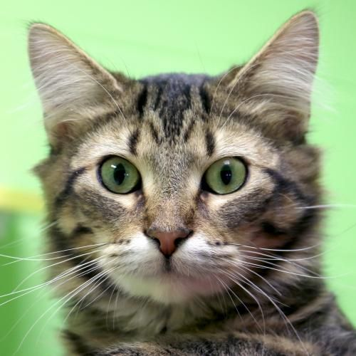 Adoptable Animal Humane Society Of Jefferson County Gatti