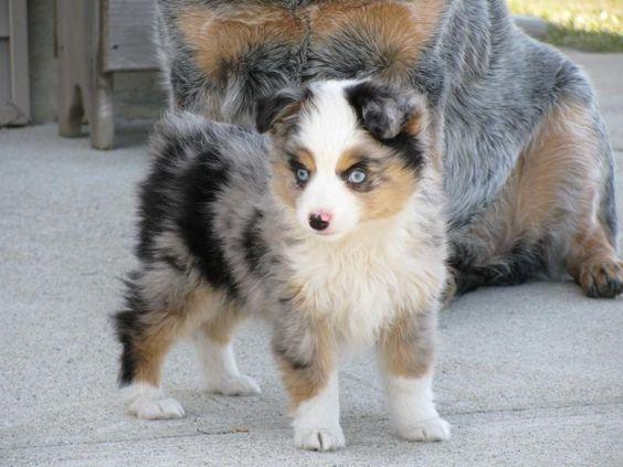 Aussie Shepherd puppy!