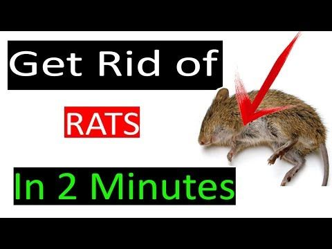 How To Get Rid Of Mouse Rats Permanently In A Natural Way Get