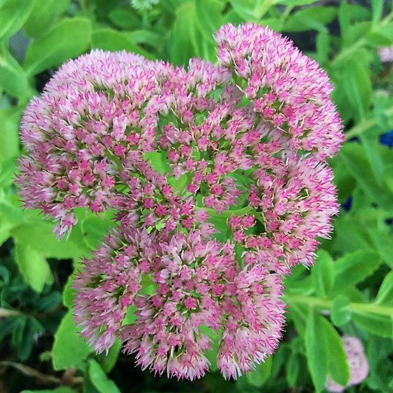 The sedum is blooming!  Copyright © 2014 Tofu Fairy's Brain Pile - All Rights Reserved