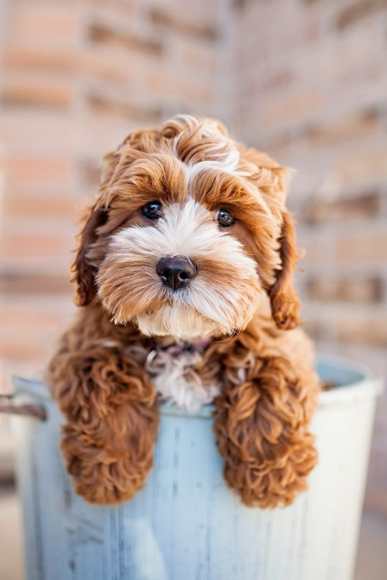Cockapoo puppy.  Shut the front door...why is he not in my life right now!!