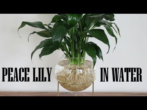 Peace Lily Growing In Water Hydroponics How To Transplant Peace Lily From Soil To Water Youtube Peace Lily Plant Lily Plants Peace Lilly Plant