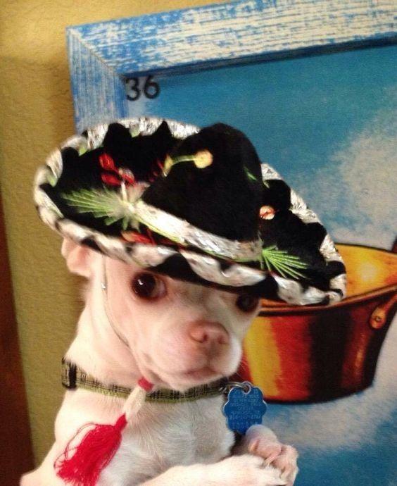 50 Mexican Chihuahua Dog Names Dog Names Chihuahua Dogs Chihuahua