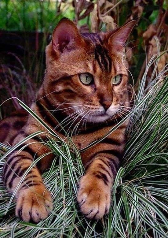 Gyonyoruseg Cats Domestic Cat Beautiful Cats