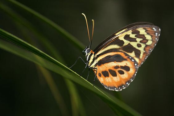 A butterfly clinging to a leaf in a butterfly garden in Mindo, Ecuador