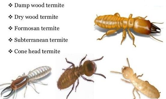 Best Ways To Prevent Termites Termite Treatment Termites Termite Control