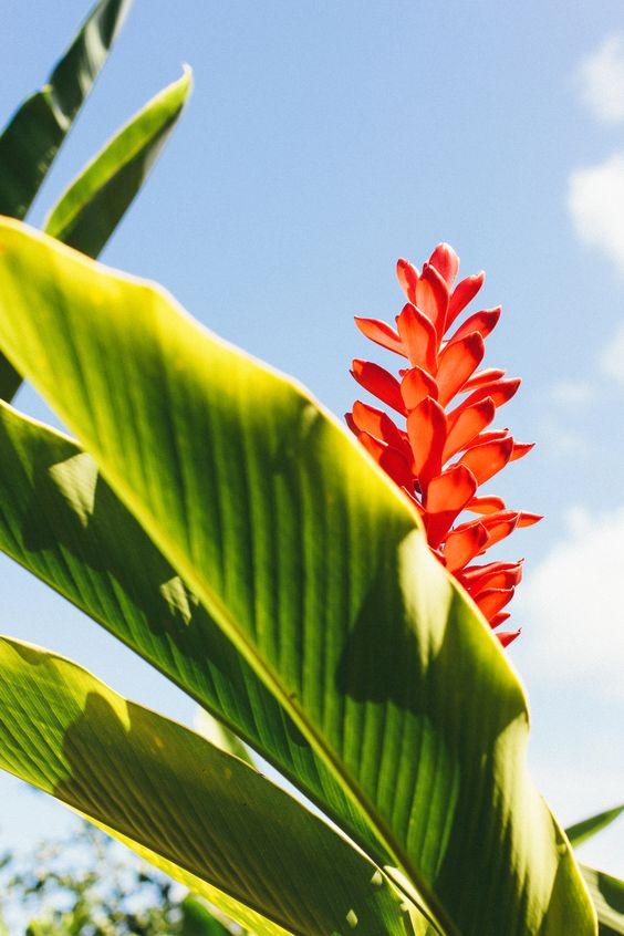 'Awapuhi-'Ula'Ula   Red Ginger