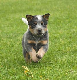 Breeds Dog: Blue Heeler Dog Training and Activities